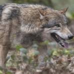 Im Odenwald hat sich ein Wolfsrüde niedergelassen. Foto: dpa