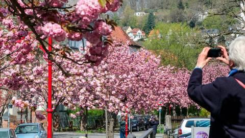 Eine Frau fotografiert die Kirschblüten in der Stresemannstraße in Marburg. Die Bäume stehen in voller Pracht.  Foto: Nadine Weigel