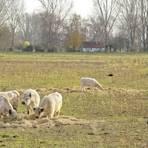 In den Rheinauen fühlen sich viele Tiere wohl, unter anderem die Gallowayrinder des Gimbsheimer Züchters Hans Gugumus. Foto: pa/Andreas Stumpf (Archiv