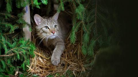 Massiger und kraftvoller als eine Hauskatze, aber ganz klar verwandt: die Wildkatze, hier in einem Wald in der Nähe von Schlangenbad. Archivfoto: Fredrik von Erichsen/dpa