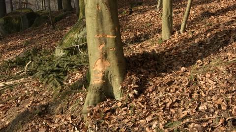 Immer mehr Bäume verschwinden im Naturschutzgebiet am Felsenmeer. Yvonne Albe