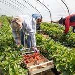 Erntehelfer pflücken auf den Feldern von Paul's Bauernhof Erdbeeren. Foto: Vollformat/Volker Dziemballa