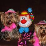 Die zwei Yorkshire-Terrier-Mädels Chanti und Nelli haben mit ihren Kostümen die Herzen der Leser erobert. Foto: Andreas Schäfer