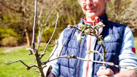 """Ist es sinnvoll, jetzt noch Obstbäume zu schneiden? """"Ja, man muss aber die Vitalität eines Baumes erkennen"""", sagt Dieter Karle. Links ein Ast mit normaler Vitalität, rechts fehlt diese. Hier wurden nur Blüten, aber kein Holz ausgetrieben. Foto: Katrin Weber"""