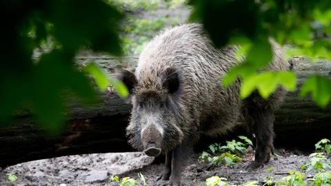 Schweinepest: mit drohnen auf die jagd nach wildschweinen