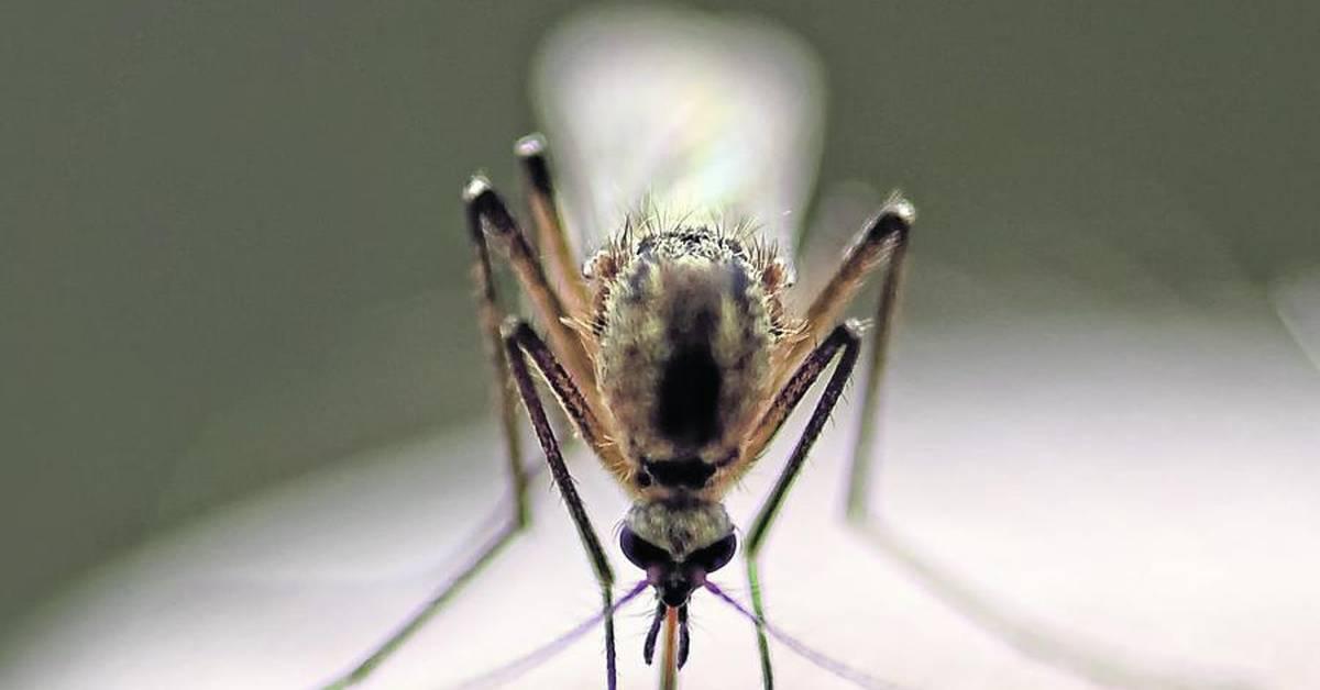 Fuß mückenstich dicker nach Ist das