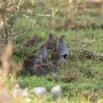Die Rebhühner befinden sich jetzt in der Brutzeit. Spaziergänger sollten in der Feldflur jetzt aufpassen, die empfindlichen Tiere nicht zu stören. Foto: Landkreis Gießen