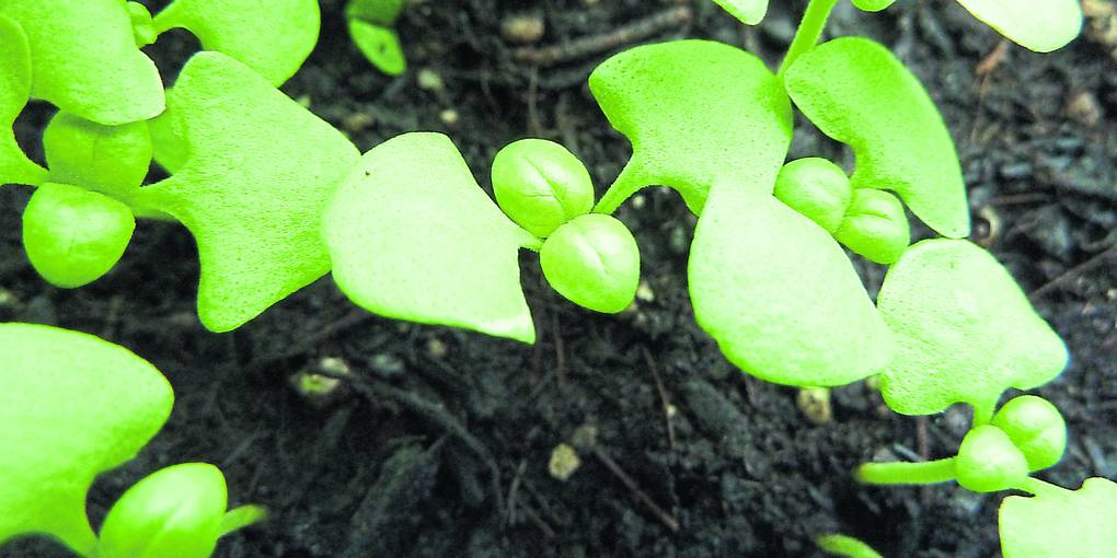 Gemüse und Kräuter richtig vorziehen - Allgemeine Zeitung