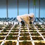 Grüner Daumen: In dieser Firma  wird Cannabis sativa für den medizinischen Gebrauch angebaut. Foto: dpa/Christian Beutler