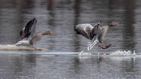 Vor allem entlang von Gewässern ist das Risiko für eine Ansteckung mit der Geflügelpest groß.  Symbolfoto: Boris Roessler/dpa