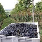 In Hochheim werden immer häufiger auch Rotweine angebaut. Archivfoto: Ulrich von Mengden