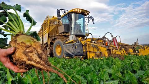 In der Wetterau wurden pro Hektar Anbaufläche im Schnitt 82,7 Tonnen Rüben geerntet. Fotos: Thomas Schmidt/Schneider