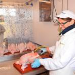 Petra Graw nimmt die Hühner im Weißbereich des Geflügelschlachtmobils aus.  Foto: Ina Tannert