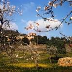 Ab Ende Januar blühen auf Mallorca die Mandelbäume. Foto: Helge Sobik  Foto: Helge Sobik
