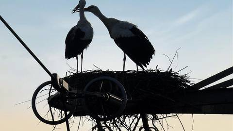 Zwischen Michel und Micheline hat's gefunkt – im übertragenen Sinne wohlgemerkt. Damit nicht irgendwann tatsächlich Funken fliegen, wird ihr Nest auf dem Strommast entfernt. Foto: Heidi Sturm