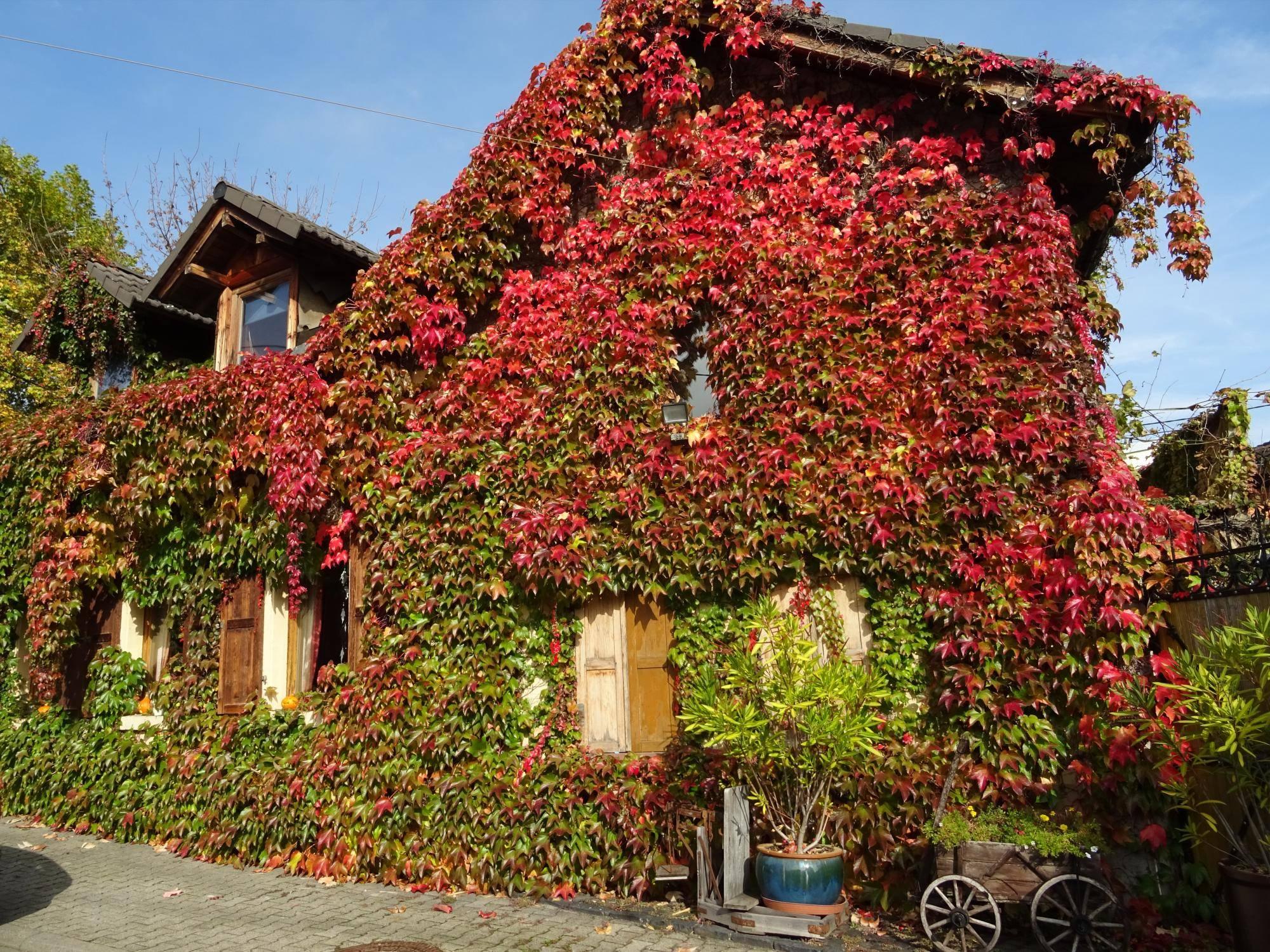 Garten Wilder Wein An Der Hauswand