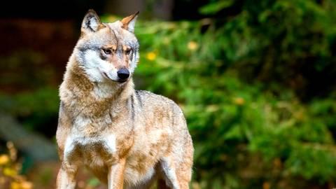Die letzte bestätigte Sichtung eines Wolfs im Hinterland ist zwei Jahre alt (Symbolbild). Eine Genanalyse soll Gewissheit bringen, ob ein bei Breidenbach gefundenes totes Fohlen von einem Wolf gerissen wurde.  Symbolfoto: Pleul/dpa