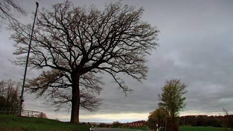 Im Mai des Jahres 1871 wird sie gepflanzt: die Seelbacher Friedenseiche, die direkt neben dem Sportplatz - links des Baumes ist ein Flutlichtmast zu sehen - an der Straße zwischen Seelbach und Falkenbach steht.  Foto: Christiane Müller-Lang