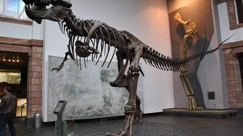Der Tyrannosaurus Rex ist eines der größten Raubtiere, die jemals an Land gelebt haben. Foto: Verena Beau