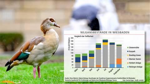 """Die Nilgans gilt als """"aggressiver Einwanderer"""" und Problemtier. Ein Ornithologe hat die Tiere unter die Lupe genommen. Grafik: VRM"""
