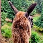 Muss weiter vergeblich nach Besuchern Ausschau halten: ein Lama im Herborner Wildgehege. Archivfoto: Dagmar Guth