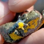 Die Gelbbauchunke bekommt im Odenwald mithilfe eines eigens geschaffenen Biotops eine Zukunft.  Archivfoto: dpa