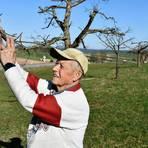 Gerd Wieder aus Langenbrombach beim Inspizieren der gepflegten Baumbestände auf seiner Streuobstwiese. Foto: Michael Lang