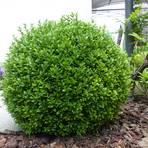 Ein Buchsbaum in Bestform, der nicht vom Buchsbaumzünsler befallen ist. Archivfoto: Reinhold Waadt