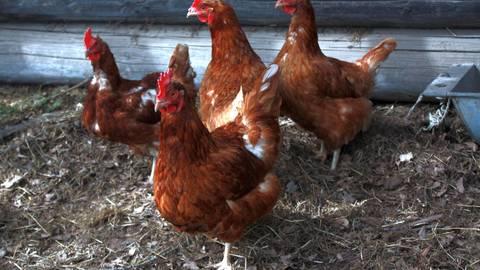 Ihren Stall dürfen Hühner derzeit wegen der Geflügelpest nicht verlassen. Archivfoto: Kreis